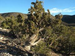 02 Juniper tree with Mesa in background Dave Beatty