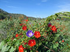 02 Goat Canyon Morning Glory Joe Glade